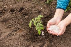 Mains d'agriculteur donnant l'engrais chimique ? la jeune plante de tomate photo libre de droits