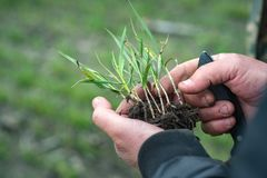 Mains d'agronome tenant la culture verte de blé pour pour analyser le develo image stock