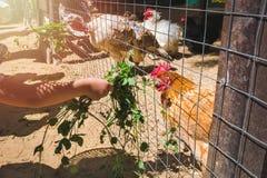 Mains d'enfant alimentant les poules domestiques photo stock