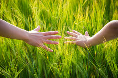 Mains d'enfant dans des oreilles de blé Image stock