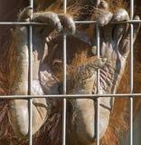mains d'orang-outan Images libres de droits