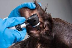 Mains d'oreille de examen de vétérinaire de chien avec l'otoscope Photographie stock libre de droits