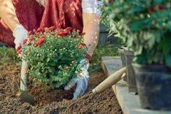 Mains d'une femme dans les gants protecteurs plantant un buisson d'un chrysanthème rouge à la terre dans le jardin Photo stock