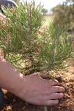 Mains d'une femme plantant un arbre Photos libres de droits