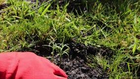 Mains dans les gants plantant la fleur en parc Fin vers le haut Fond vert banque de vidéos