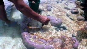 Mains de collecteur de Tridacna de molyusks de coquillage dans les coraux de la Polynésie française clips vidéos