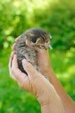 Mains de femme aînée retenant le petit chaton Image libre de droits