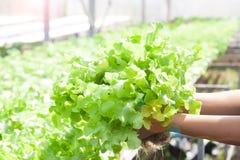Mains de femme tenant la salade verte fraîche de chêne dans la ferme de culture hydroponique Style de vie sain photographie stock