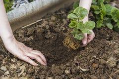 Mains de jardinier plantant la fraise Photos libres de droits
