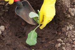 Mains de jardinier plantant le chou photo libre de droits