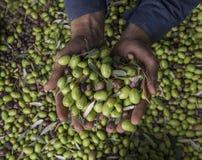 Mains de l'homme tenant des olives pendant la fin de récolte  photo stock