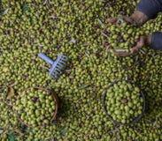 Mains de l'homme tenant des olives pendant la récolte photos stock