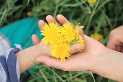 Mains de mère et d'enfant avec des fleurs de pissenlit Photographie stock