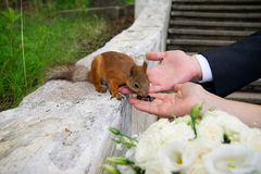 Mains de marié et de jeune mariée avec l'écureuil Photo stock
