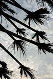 Mains de palmier à sucre. Images libres de droits