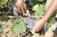 Mains de récolteuse de raisin Photos stock