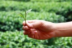 Mains de récolteuse de thé Photographie stock libre de droits
