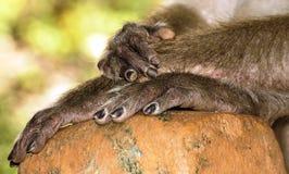 Mains de singe Photos stock