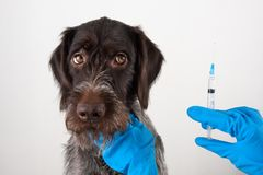 Mains de vétérinaire avec la seringue pour l'injection pour le chien Photographie stock