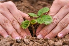 Mains des femmes plantant la jeune plante de fraise dans le jardin photo libre de droits