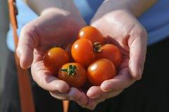Mains du ` s d'agriculteur de récolte de tomate avec les tomates récemment récoltées Image libre de droits