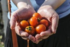 Mains du ` s d'agriculteur de récolte de tomate avec les tomates récemment récoltées Images stock