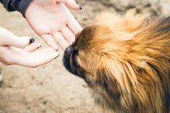 Mains du ` s de fille et un chien pekingese mignon Photo stock