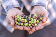 Mains et olives Photos libres de droits
