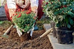 Mains femelles dans des gants de jardin plantant des fleurs dans le jardin en été Photo libre de droits