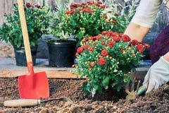 Mains femelles dans des gants de jardin plantant des fleurs dans le jardin dans la soirée d'été Photo libre de droits