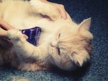 Mains femelles peignant des cheveux sur le ventre d'un beau chat crème photos libres de droits