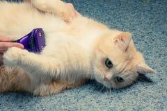 Mains femelles peignant des cheveux sur le ventre d'un beau chat crème photo stock