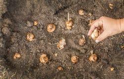 Mains femelles plantant des ampoules de narcisse Photographie stock libre de droits