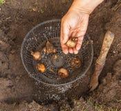 Mains femelles plantant des ampoules de narcisse Image stock