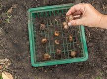 Mains femelles plantant les ampoules de narcisse, profondeur des WI de champ Photo stock