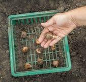 Mains femelles plantant les ampoules de narcisse, profondeur des WI de champ Photo libre de droits