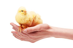 Mains femelles tenant deux petits poulets jaunes photographie stock