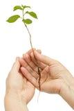 Mains femelles tenant une jeune plante, d'isolement sur le fond blanc Images libres de droits