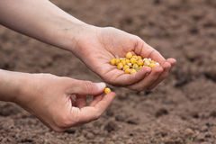 Mains jugeant des graines prêtes à planter dans le sol photographie stock