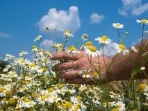 Mains masculines tenant des camomiles dans le domaine le jour ensoleillé images stock