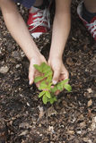 Mains plantant la jeune plante noire de caroubier Photographie stock