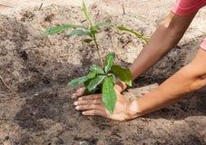 Mains plantant un arbre Images libres de droits