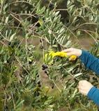 Mains rassemblant les olives fraîches Image libre de droits