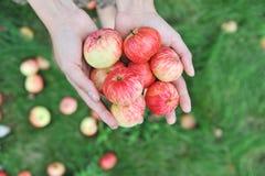 Mains retenant les pommes rouges Images libres de droits