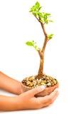 Mains retenant un bac avec un jeune arbre photographie stock libre de droits