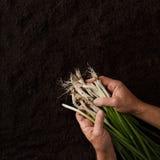 Mains tenant l'oignon avec les feuilles vertes photos stock