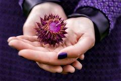 Mains tenant la fleur pourpre épineuse Image stock