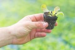 Mains tenant la jeune plante de laitue en serre chaude Ferme hydroponique de laitue photographie stock