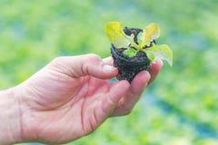 Mains tenant la jeune plante de laitue en serre chaude Ferme hydroponique de laitue photo stock