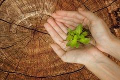 Mains tenant la plante verte sur l'arbre de tronçon Photographie stock